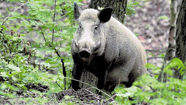 czech-wild-pigs